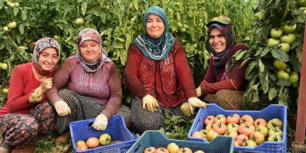 Kumlucalı firmadan raf ömrü 4 haftayı bulan yerli domates