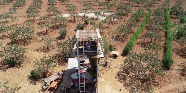 Gaziantep'te çiftçiler hasat öncesi fıstık için gece gündüz nöbet tutuyor