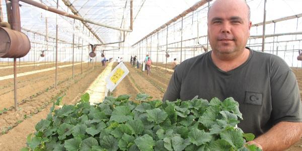 Antalya'nın Aksu ilçesinde serada 2. ürün için fide dikimi başladı