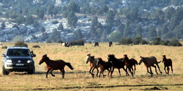 Eynif Ovası'ndaki yılkı atları bölgeye gelen turist sayısını ikiye katladı