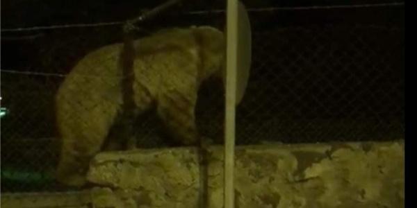 Sarıkamış'ta  tel örgüler de ayılara fayda etmedi