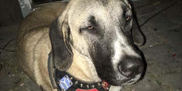 Kayıp Kangal cinsi köpeklerinin bulunması için 10 TL  ödül koydu.