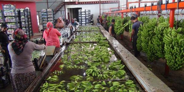 Türkiye'nin muzdaki açığı kapatacak Silifke'de hasat zamanı