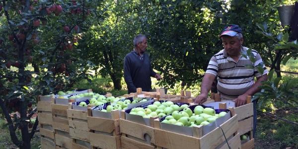 Isparta Eğridir'de  300 bin ton elma hasadı bekleniyor
