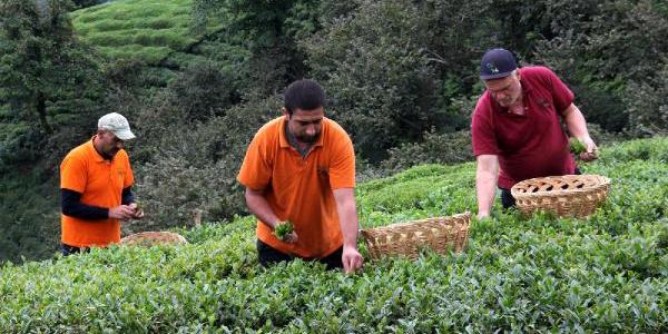 Sadece  Türkiye'de üretilen 2,5 yapraklı organik yeşil çaya Fransa'dan ödül