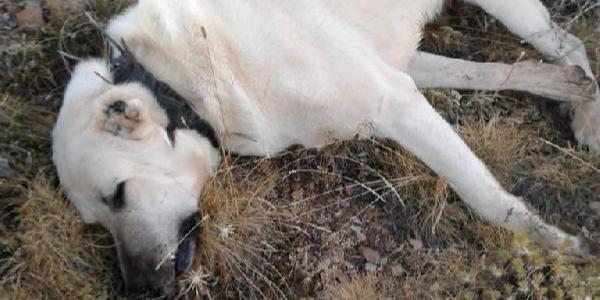 Konya'da zehirli et verilen 6 çoban köpeği öldü