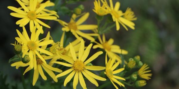 Bu bitki dünyada sadece Trabzon ve Gümüşhane'de yetişiyor