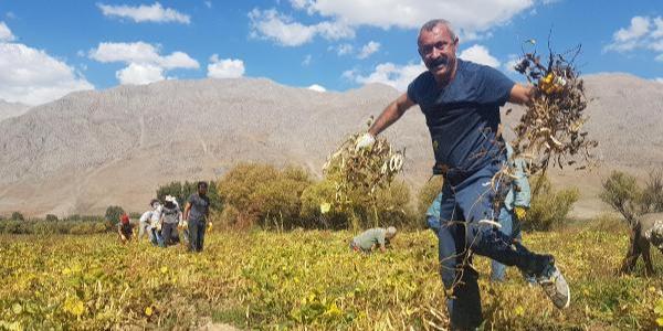 Komünist Başkan tarlada: Ovacık'ta kuru fasülyenin hasadı başladı