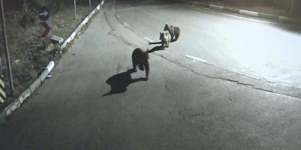 Bursa'da aç kalan ayı, 2 yavrusu ile birlikte şehre indi