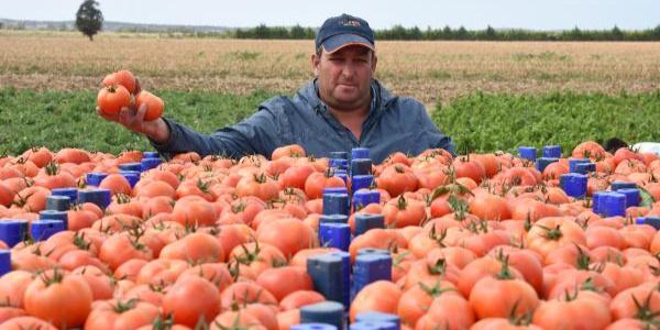 Çanakkale'de fiyatı 3 liraya çıkan domates üreticisinin yüzünü güldürdü