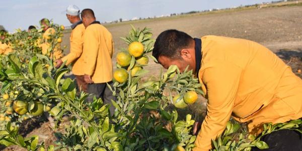 Çukurova'da mahkumlar cezaevi arazisinden yılda 3 ürün alıyor