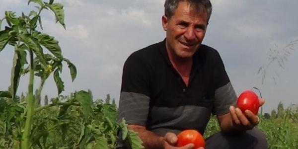 """Iğdır Ovası'nda yetişen """"süper domates"""" 3 liradan satılıyor"""