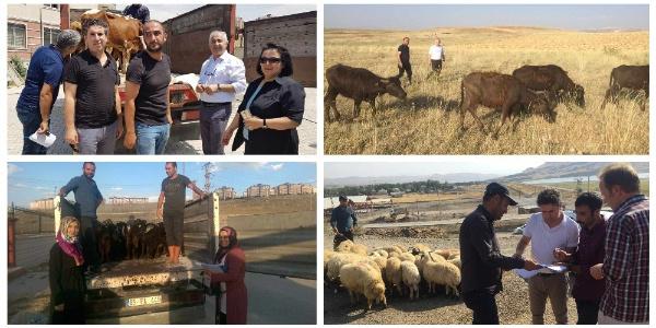 """Van'da """"genç çiftçi""""lere 2 bin 832 baş hayvan dağıtıldı"""