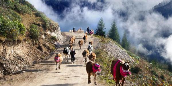 Doğu Karadeniz'de yaylacılar inekleri süsleyip yola koyuldu