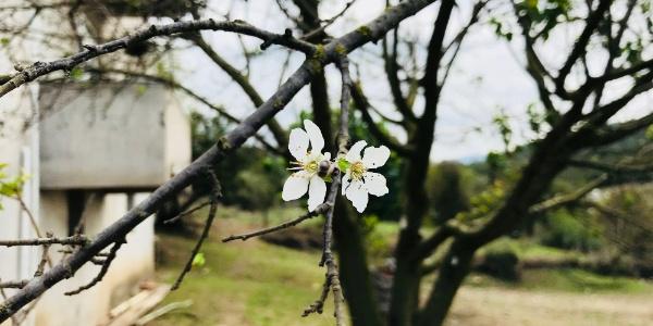 Çanakkale'de erik ağacı Ekim ayında çiçek açtı