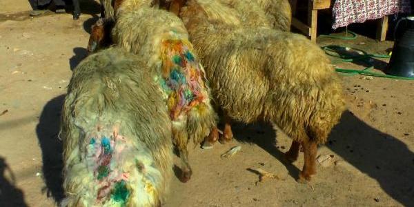 Muş'ta sokak köpekleri 30 koyunu telef etti