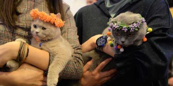 Ankara'nın kedileri için güzellik yarışması düzenlendi
