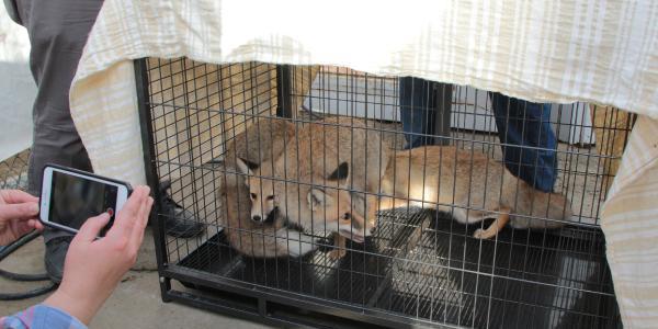 Afyonkarahisar'da 3 kızıl yavru tilki doğaya salındı