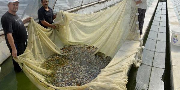 ÖRTÜ ALTINDA balık üreticiliği