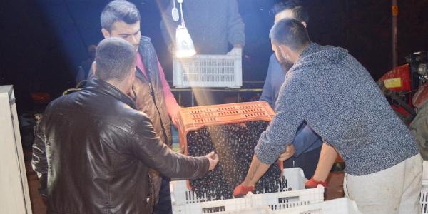Erdek'te zeytin hasadı devam ediyor