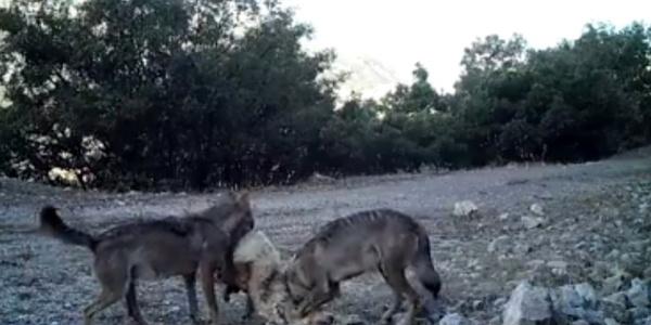 Erzincan'da kurt ve boz ayılar fotokapanlarla görüntülendi