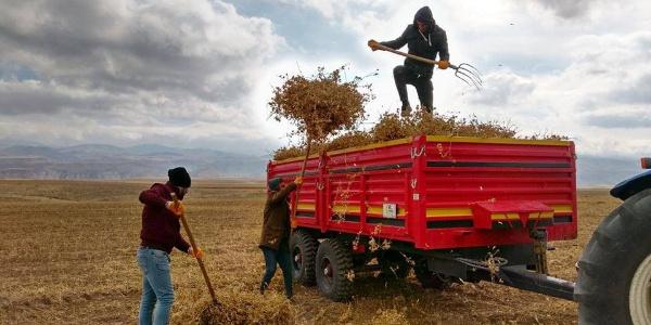 Van Başkale'de aspir hasadına başlandı