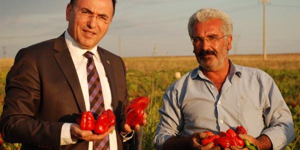 Adıyaman'da yerli biber yetiştiricileri son hasat dönemine başladı