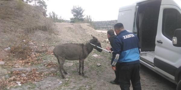 Ölüme terk edilen eşeğe Balıkesir Belediyesi sahip çıktı