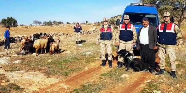 Kayıp koyunları devriye gezen jandarma ekipleri buldu
