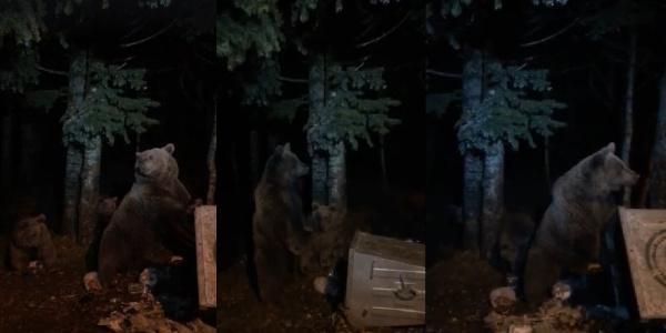 Uludağ'da aç kalan ayılar yiyecek arayışında