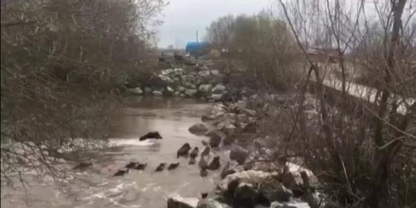 Domuzlar nehri yüzerek geçti