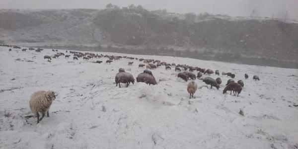 Ardahan'da kay yağışının başlamasıyla çobanlar zor durumda kaldı