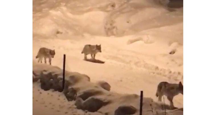 Erzurum'da aç kalan kurt sürüsü köye indi!