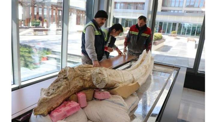 Kayseri Büyükşehir Belediyesi 7,4 milyon yıllık hayvan fosillerini sergileyecek