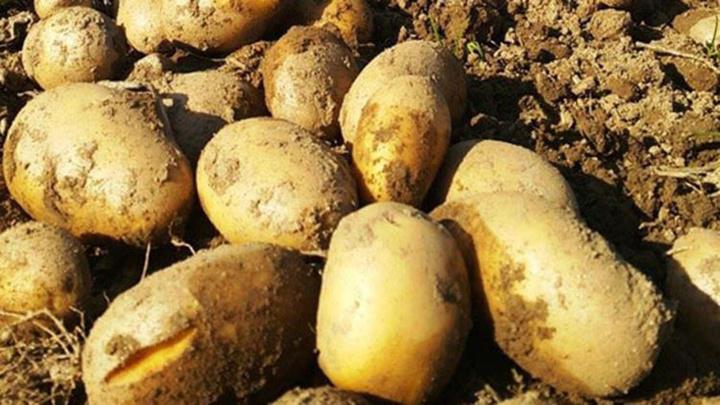 Resmi Gazete'de yayımlandı: Sıfır gümrük ile 200,000 ton patates ithal edilebilecek