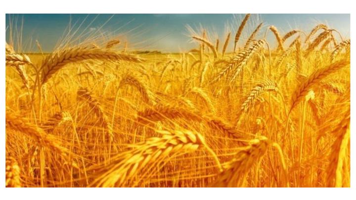 Buğday üreticisi gübre fiyatlarının zamlanması ile gübre kullanımını azalttı