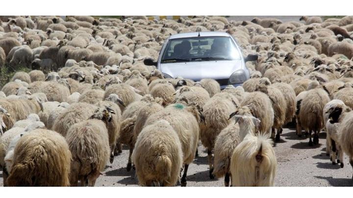 Erzincan'da koyun sürüsü karayoluna çıktı