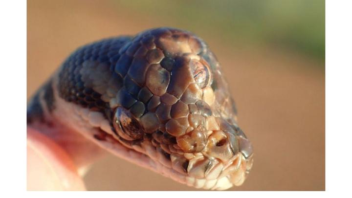 Avustralya'da 3 gözlü yılan bulundu