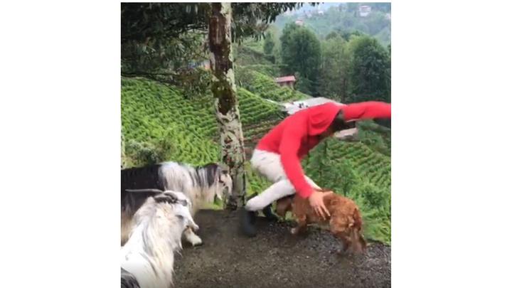 Rize'de kıskanç keçi sahibini yamaçtan aşağıya düşürdü