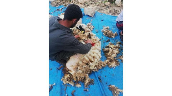 Mardin'de hayvancılık ile uğraşanlar koyunlarını kırkmaya başladı