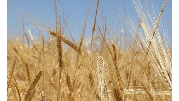 Hasat sezonunun ilk buğdayı 1 lira 46 kuruştan alıcı buldu