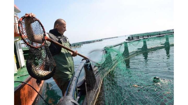 Ordu'dan Rusya ve Japonya'ya kültür balığı ihracatı