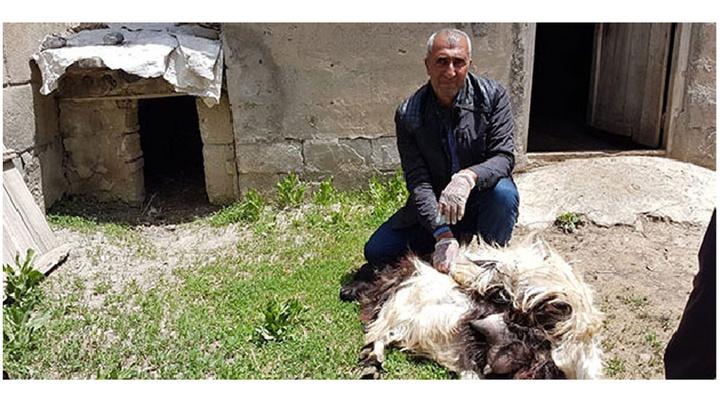 Yüksekova'da başıboş köpekler ahıra girdi ve 18 keçiyi telef etti