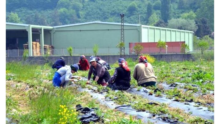 Zonguldak'ta çilek hasadını müşteriler yapıyor