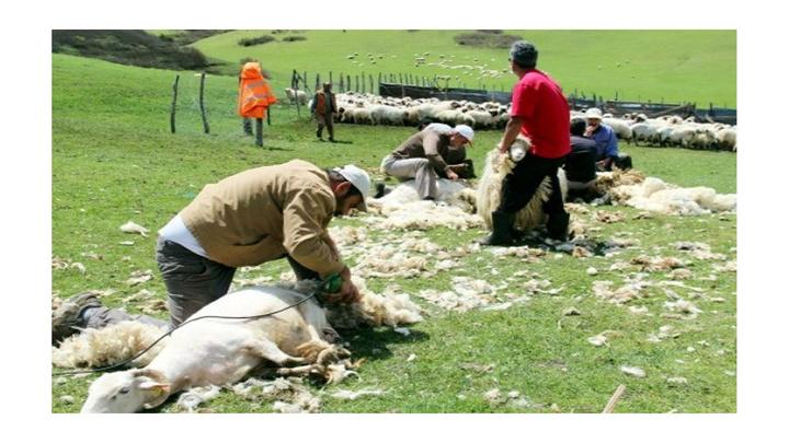 Şırnak'ta yaylalarda koyun kırkma dönemi