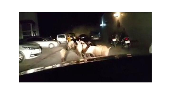 Kuşadası'nda aç kalan domuz sürüsü şehre indi
