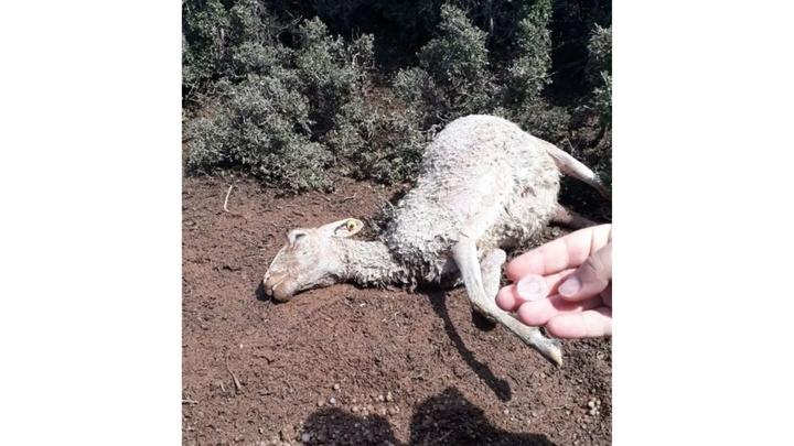 Korkuteli'nde sel nedeniyle 25 küçükbaş hayvan telef oldu