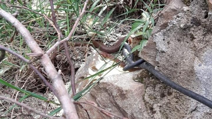 Ordu'da ilk defa Avusturya yılanı görüldü