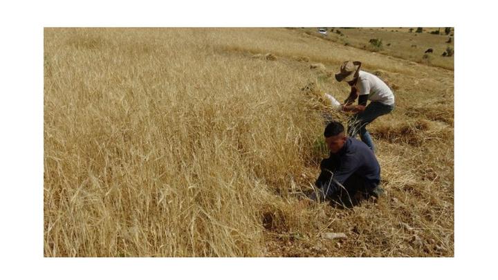 Batman'da dağlık alanlara biçerdöverler giremedi, çiftçiler ekinleri orakla biçtiler