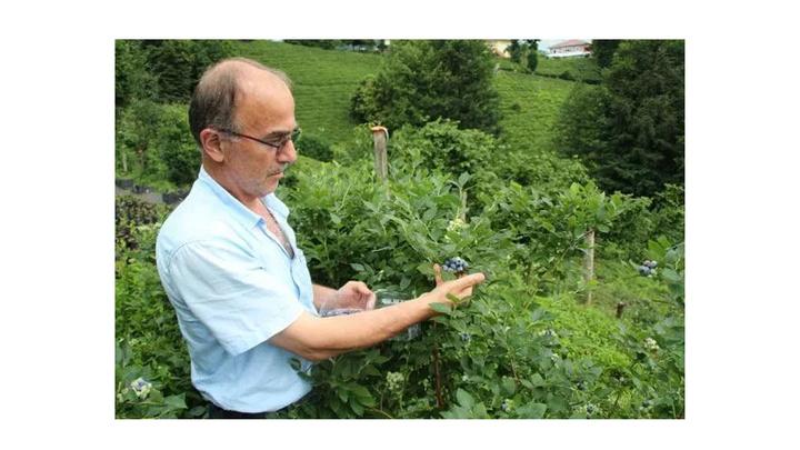 Rize'de çay yetiştirici yaban mersini yetiştirmeye başladı; kilosunu 28 TL'den satıyor